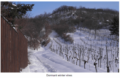 Dormant winter vines
