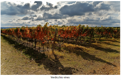 Verdicchio vines