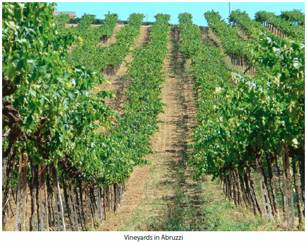 Vineyards in Abruzzi