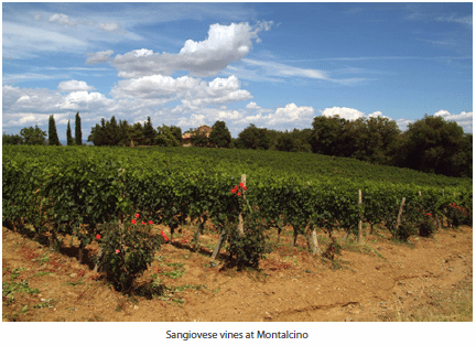 Sangiovese vines at Montalcino