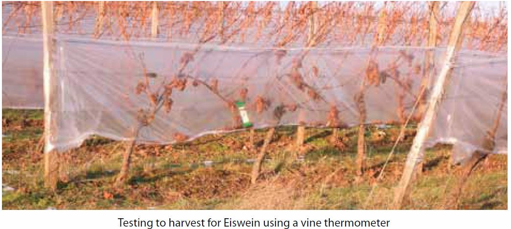 Testing to harvest for Eiswein using a vine thermometer